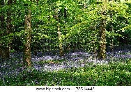 Beautiful sunny day in spring forest with a bluebell flowers