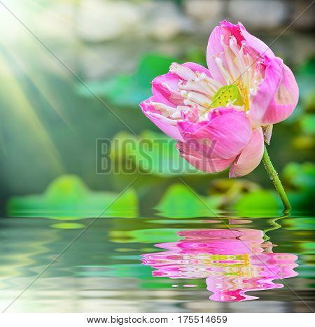 Lotus flower blooming in garden with reflection