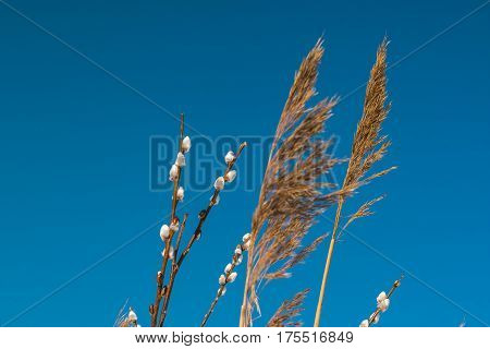 deadwood and symbole of spring - verba. Image of spring pussy willow branches outdoor. verba. Blossoming spring willow twig with buds on blue sky background.