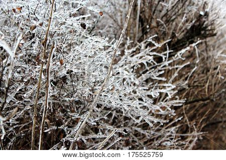 Ice on a bush in Iowa during an ice storm