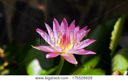 Purple lotus flower in  the pool background