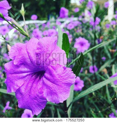 Ruellia, purple flowers in the garden old day morning glistening.