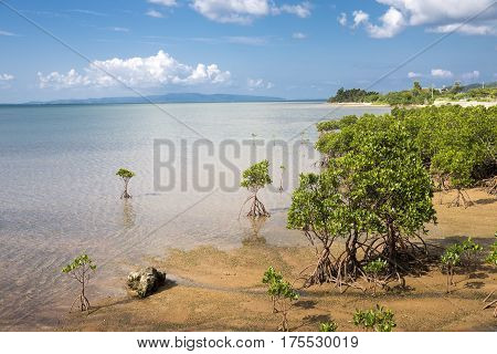 Seaside mangrove trees(Rhizophora mucronata) under blue sky in Ishigaki island