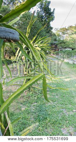 Dragon Fruit Or Pitaya Plants In Organic Farm