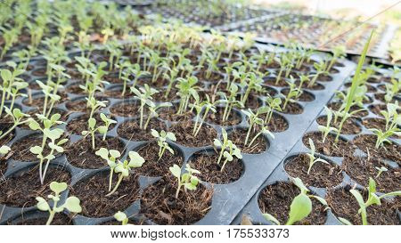 Young Baby Plants Growing In Germination Sequence On Fertile Soil