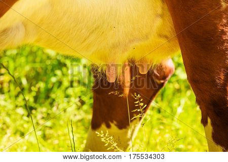 Agricultural breeding animals ecological farming concept. Detailed closeup of cow udder outdoor shot on green grass.