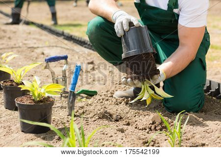 Gardener Putting The Plant