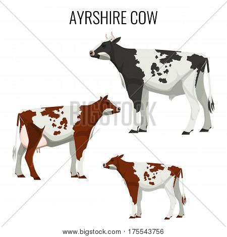 Ayrshire cows isolated on white background. Vector illustration of realistic ayrshire dairy cattle with red, white and black markings.