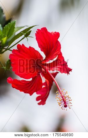 Red hibiscus flower , beauty in nature