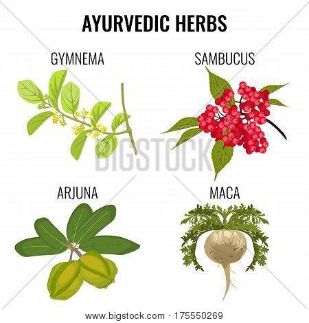 Ayurvedic herbs set isolated on white. Gymnema, red berries of sambucus or elderberries, healthy root of maca, organic arjuna ayurveda medicinal plants realistic vector illustration