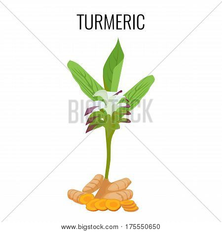 Turmeric ayurvedic herb with rhizomes isolated on white background. Purple flowers and roots widely used in Indian medicine. Realistic vector illustration