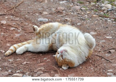 Cat rolling on the ground, playing cat