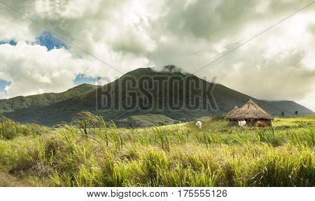 Cattle, huts, and volcano in tropical location