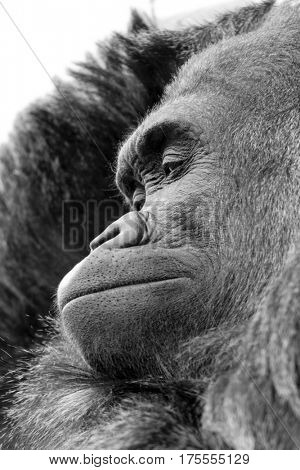 Close up of gorilla with expressive face and pose