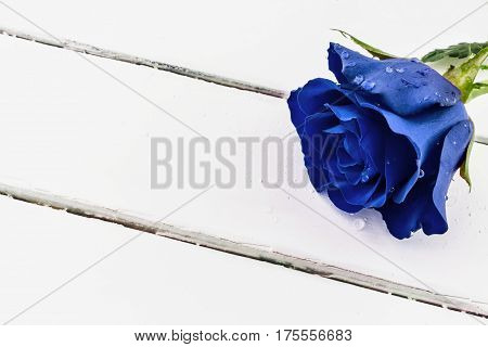 Blue rose with water drops on white wood