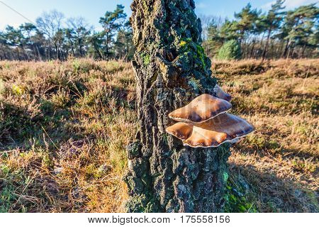 Ganoderma resinaceum mushrooms on a the trunk of a dying scots pine tree in a Dutch nature reserve on a sunny day in the fall season.