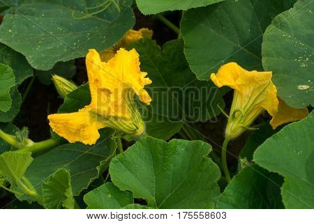 Pumpkin (Cucurbita pepo) yellow flowers and green leaves. Close up.