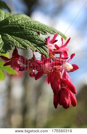 The early spring flower of Ribes sanguineum also known as Flowering Currant or Red Flower Currant.