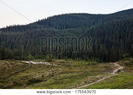 Summer landscape in the Ukrainian Carpathian Mountains with flock of sheep.