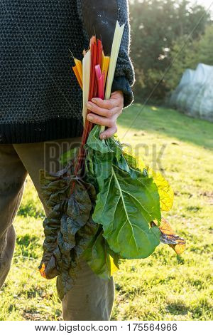Bunch Of Swiss Chard Stalks And Leaves In Hand