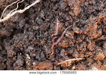 Overhead shot of live earthworms on ground