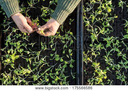 Overhead Of Seedling Boxes And Hands Sorting Seedlings