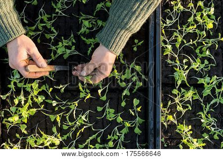 Hands Planting Seedling Into A Seedling Box