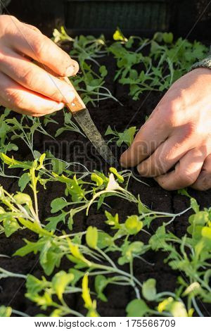 Hands Planting A Seedling Into Soil Surrounded By Other Seedlings