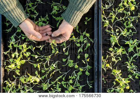 Overhead of hands holding a sapling with boxes containing other saplings in the background