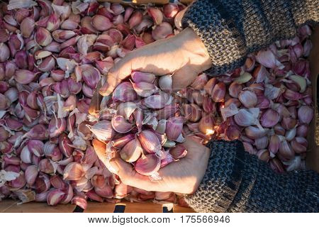 Overhead of a heap of cloves of fresh garlic in cupped hands with crate of garlic cloves in the background