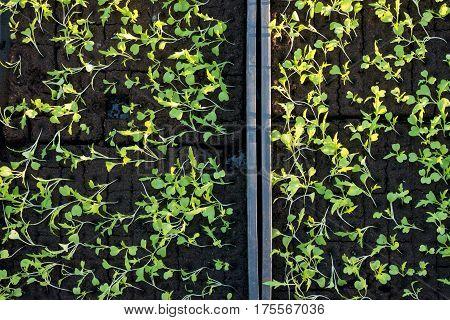 Overhead Of Saplings Planted In Seedling Beds