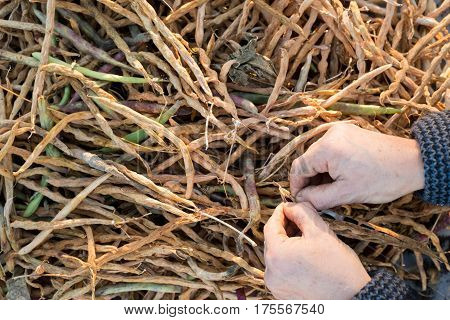 Hands prying a bean pod with dry bean pods in the background