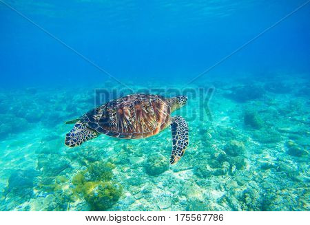 Sea turtle in water. Exotic island seashore environment in tropical lagoon. Wild turtle swimming underwater in blue tropical sea. Underwater photo with tortoise. Sea turtle in wild nature.
