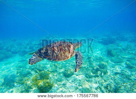 Sea turtle in water. Exotic island seashore environment in tropical lagoon. Wild turtle swimming underwater in blue tropical sea. Underwater photo with tortoise. Sea turtle in wild nature.