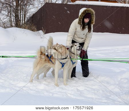 Russia. Kazan. 14 Feb. Dog Sled Team Of Siberian Huskies Out Mushing On Snow Pulling A Sled That Is
