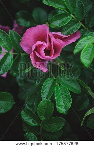 Half open rose bud of bush rose with drops of dew on a green leaves background