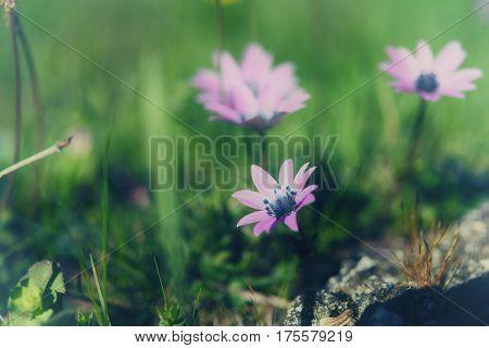 Wild spring flower in nature, vintage tonning