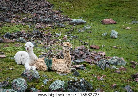 Two baby llama resting on their stomachs on grazing land