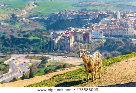 Goat near Marinid Tombs in Fes - Morocco poster