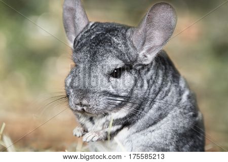 Portrait of a small gray chinchilla outdoors
