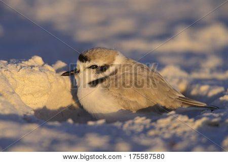 A Snowy Plover, Charadrius nivosus rests on the white sand of Siesta Key, Florida near sunset