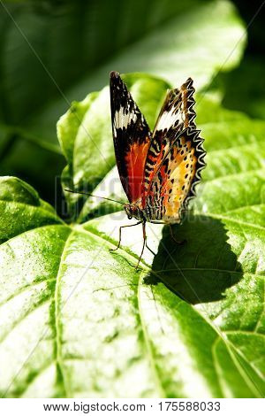 Yellow orange colorful butterfly resting on a green leaf drying its wings in the sun by spreading them.