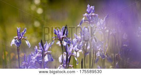 Springtime banner - beautiful blooming iris violet flowers