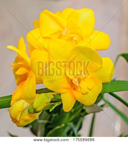 Yellow Freesia Flower, Bokeh Background, Green Leaves Close Up