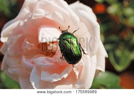 Rose chafer (cetonia aurata) on flower in rural flowerbed poster
