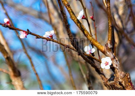 Spring blossom background. Beautiful nature scene with blooming tree. Sunny day. Spring flowers. Abstract blurred background. Springtime.