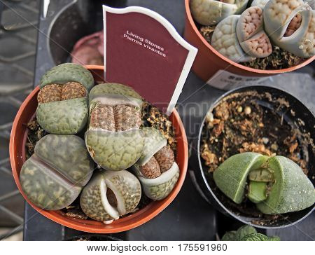 Living stones in pots for sale at the nursery