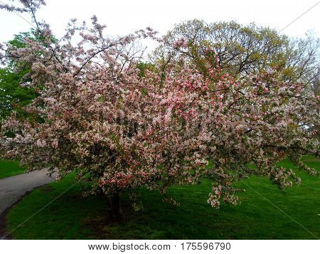 beautiful crab apple tree in full bloom in spring