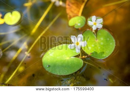 Nymphoides hydrophylla known as crestad floating heart or water snowflake