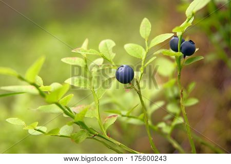 The branch of ripe bilberry close up
